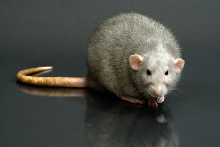 Algunas ratas pueden verse simpáticas, pero pueden ser mortales para ti y para tu familia.