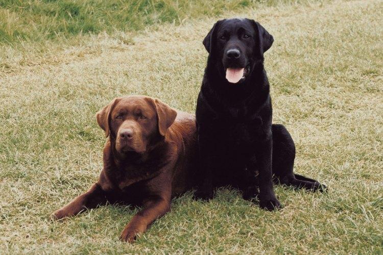 Los labradores son grandiosos perros familiares.