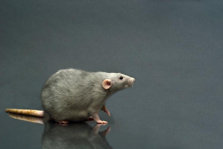 Las ratas y los ratones pueden ser distinguidos por el excremento que dejann detrás.