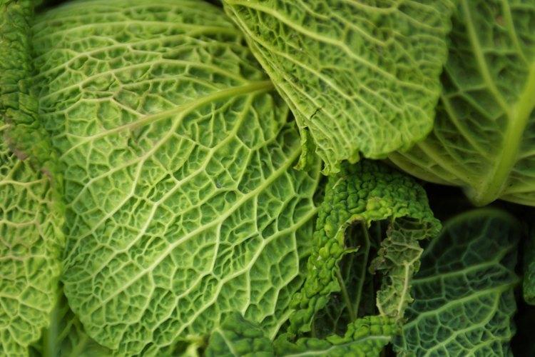 Selecciona las variedades de repollo que son resistentes a marchitarse y a la pudrición.