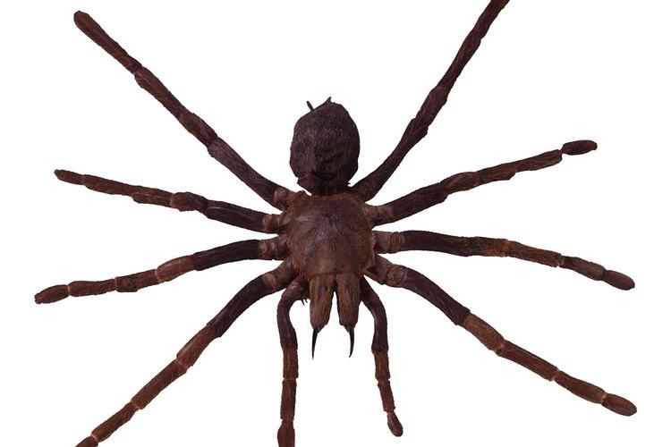 Para identificar a una araña, observa las marcas en su cuerpo y patas.