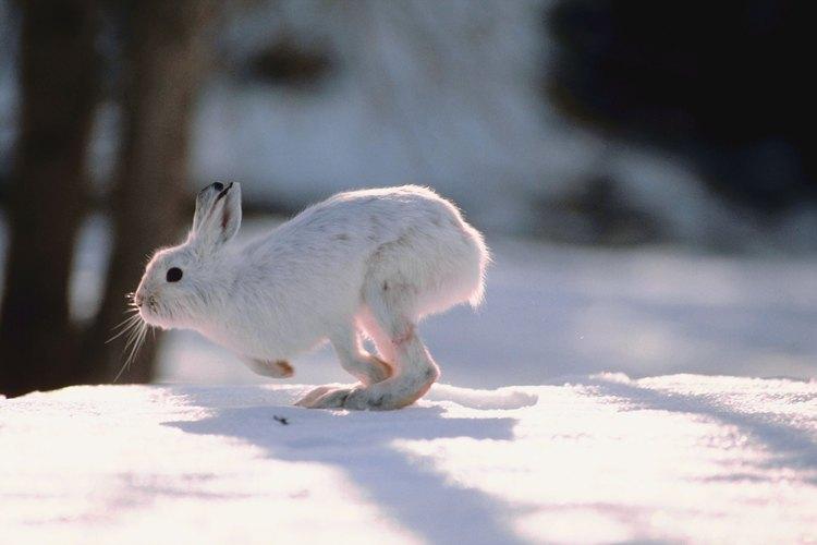 La anatomía de un conejo está diseñada para correr.