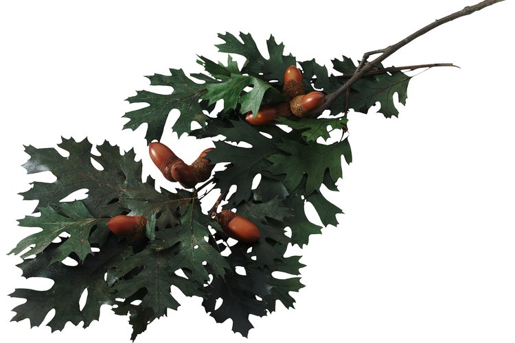 Semillas del árbol de roble