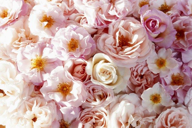 El azúcar ayuda a la rosa de dos formas: ayuda a abrir los capullos de las flores recién cortadas y hace que duren más tiempo.