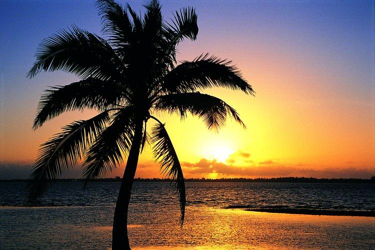 Las palmeras únicamente crecen y producen hojas de capiteles o de las puntas en crecimiento.