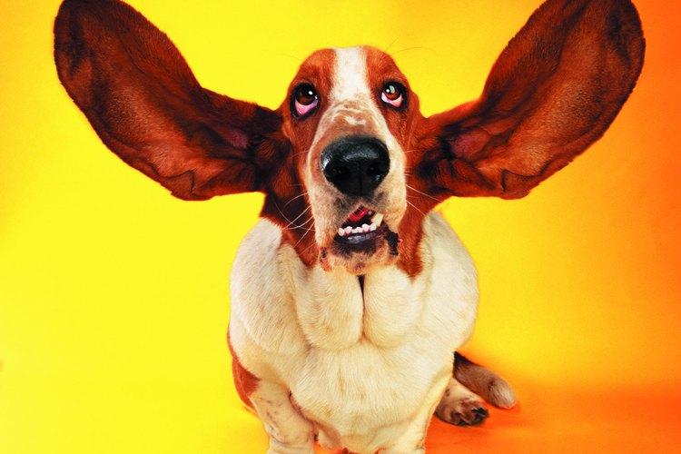 Observa las orejas de tus perros para detectar síntomas de infecciones dolorosas.