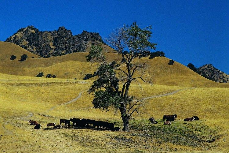 Las vacas pueden ver el color.