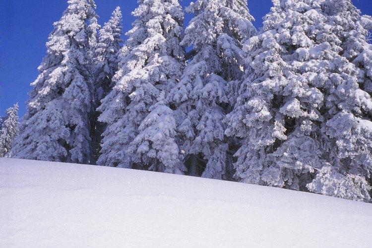 Las ramas de pino son lo suficientemente fuertes para soportar mucha nieve.