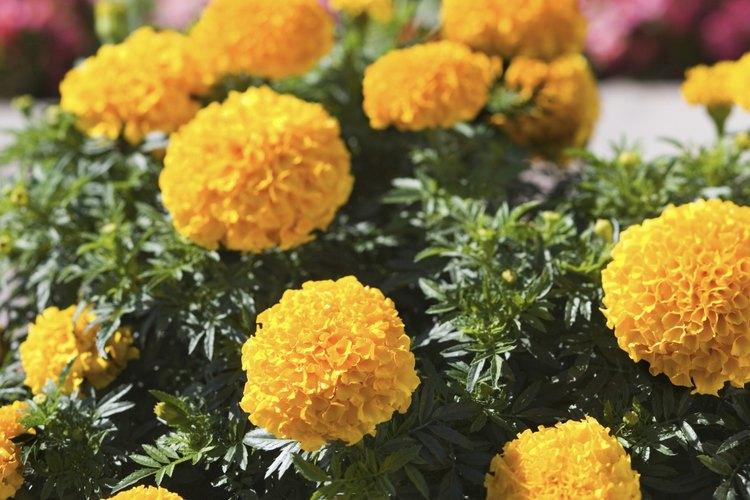 Las cabezas florales de color naranja y forma globular caracterizan a la caléndula africana.