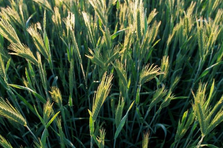 La cebada en su mayoría es sembrada en la primavera o el invierno.
