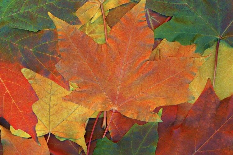 La cromatografia estudia los cambios en los colores de las hojas.