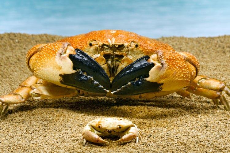 Como todos los crustáceos, los cangrejos tienen un ciclo de vida complicado.