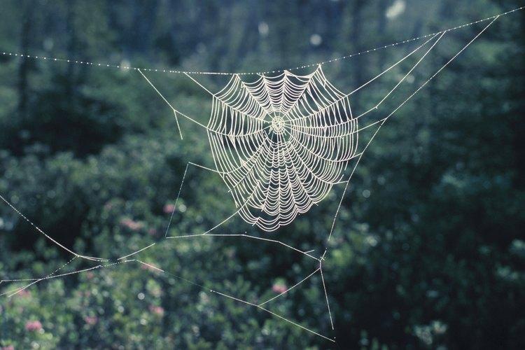 La tela de araña la mantiene fuera de la tierra y lejos de los depredadores.