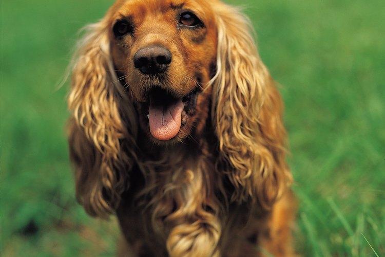 Reduce el nitrógeno en la orina del perro, alimentándolo con una dieta baja en proteínas y mucha agua para beber.