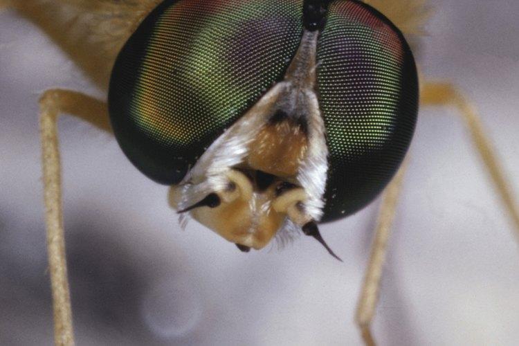 Las moscas domésticas son conocidas por llevar parásitos, bacterias y virus que van a recoger de la basura y heces.
