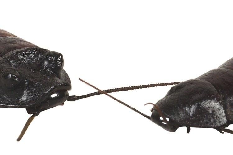 Las cucarachas americanas por lo general son más grandes que las alemanas.