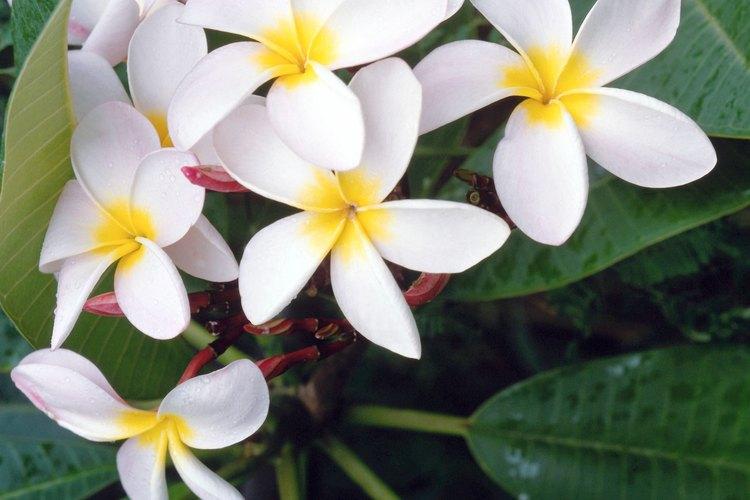 Las hojas y las flores del árbol frangipani.