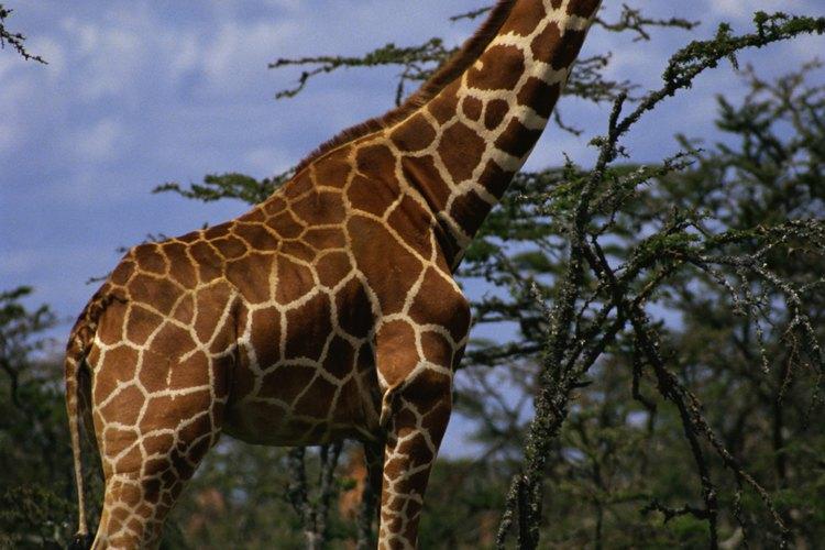 Pese a las altas temperaturas y poca agua, podemos encontrar diferentes tipos de plantas como el arbusto de sauce de río que sirve como alimento a animales como las jirafas.