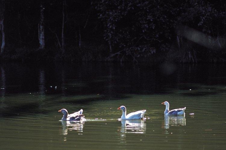 El parque cuenta con estanques y gansos.