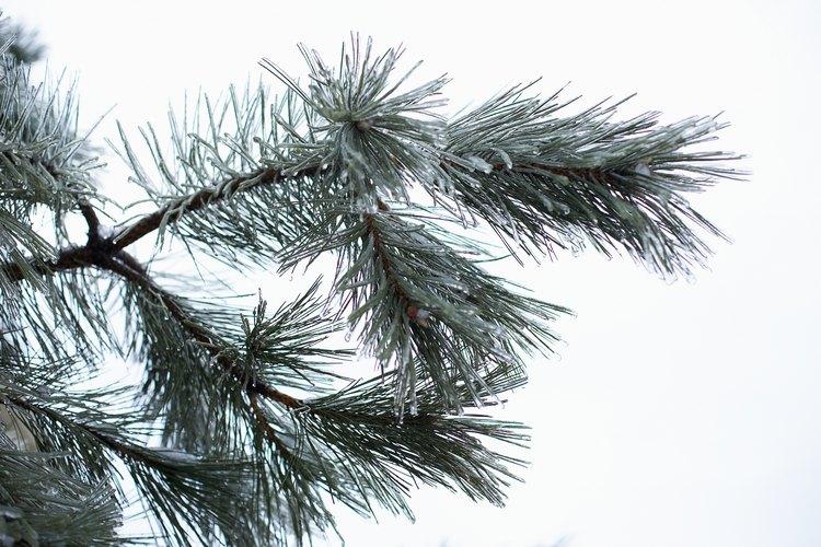Las agujas del pino son sus hojas.