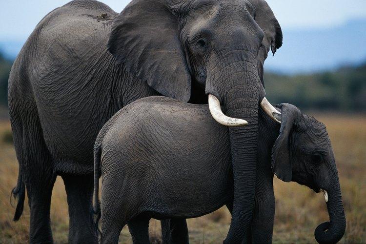 Los colmillos de elefantes están hechos de marfil.