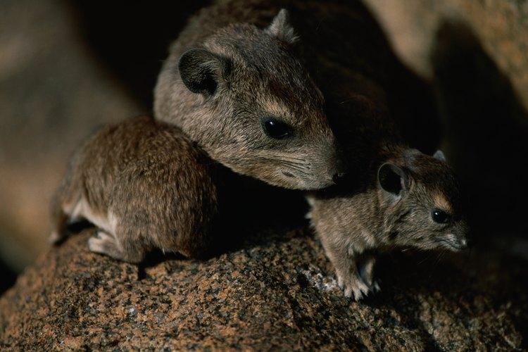 Deshacerse de las ratas sin veneno.