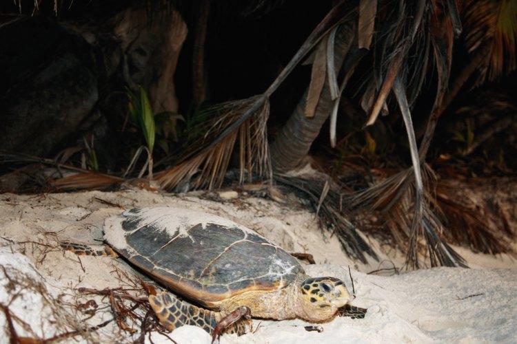 El Plecostomus común es una especie de pez gato que se alimenta de algas y puede crecer hasta 18 pulgadas (45 cm) de largo.