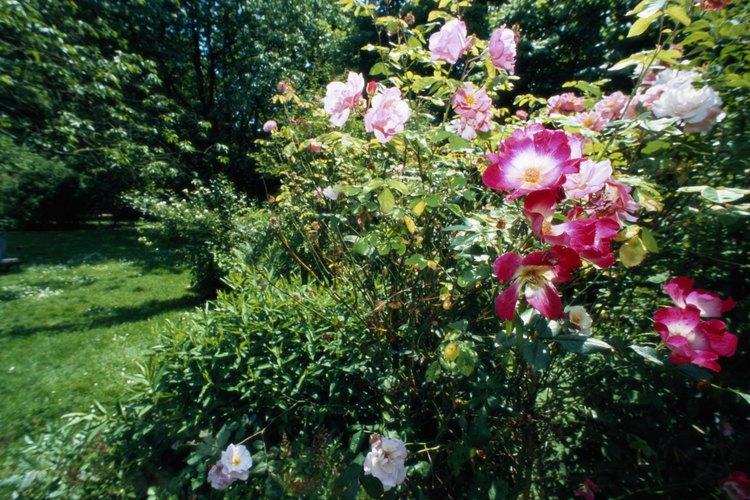 Arbusto de rosas.