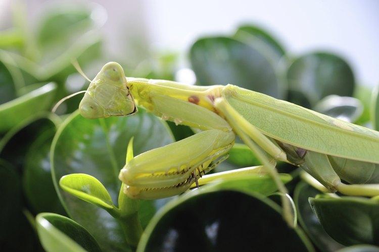 Un primas plano de una mantis religiosa en hojas verdes.