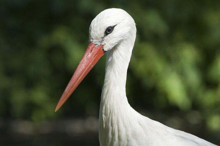 Cigüeña Blanca.