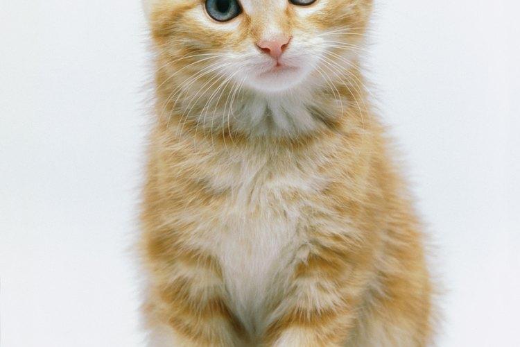 Castrar o esterilizar tu gato a edad temprana tiene muchos beneficios.