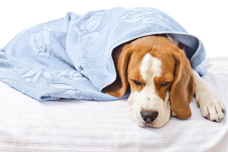 Los perros pueden padecer malestar estomacal.