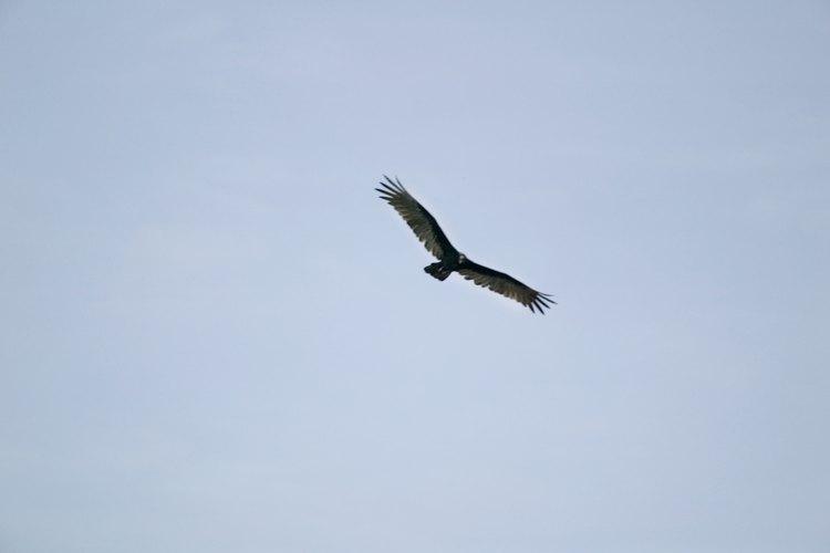 Las águilas reales son veneradas en muchas partes de su zona de hábitat.