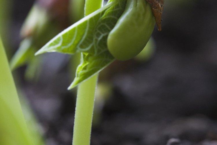 Los brotes de frijoles comienzan su vida con solo dos hojas.