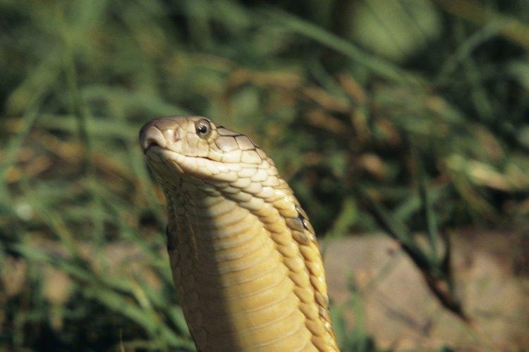 Las cobras real son las más grandes de la familia cobra.