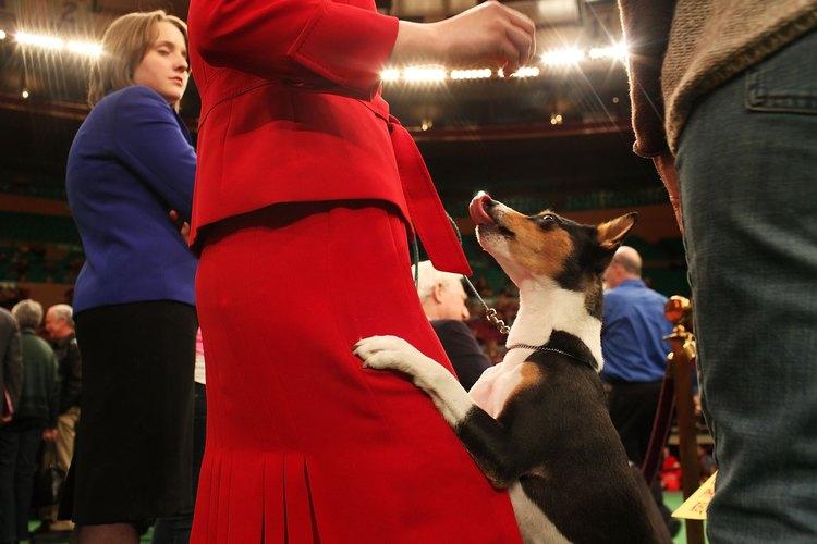 Los Basenjis son perros conocidos por no ladrar.
