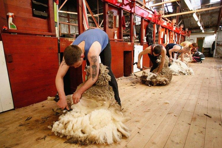 Los cardadores expertos sacan la lana en una pieza.