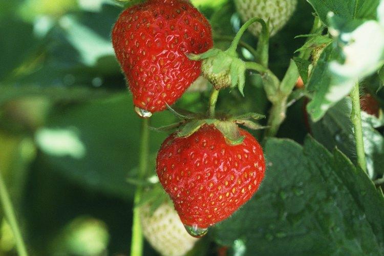 Impide que ocurra la plaga de la hoja de fresa plantando plantas resistentes y utilizando fungicidas.