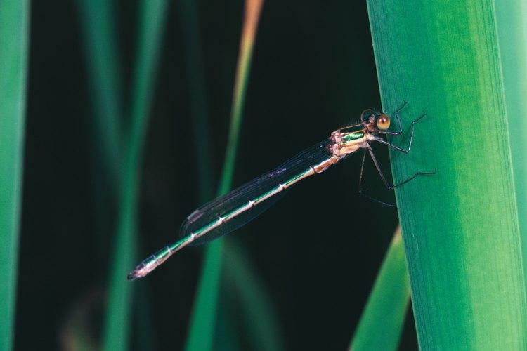 El abdomen tiene 10 segmentos.