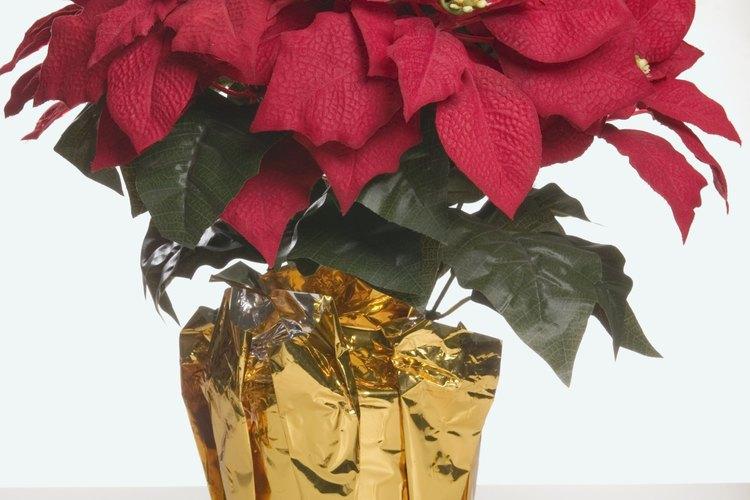 Las nochebuena son famosos regalos en tiempos de celebración.