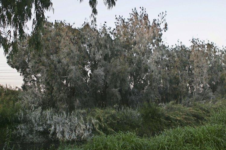 La poda ayuda a darle forma a los árboles de eucalipto.