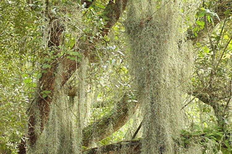 """El llamado """"musgo español"""" no es un verdadero musgo, sino una bromelia epífita emparentada con la piña."""