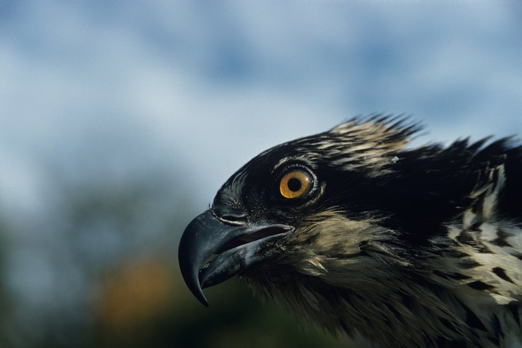 Las águilas pescadoras se encuentran en todos los continentes a excepción de la Antártida.