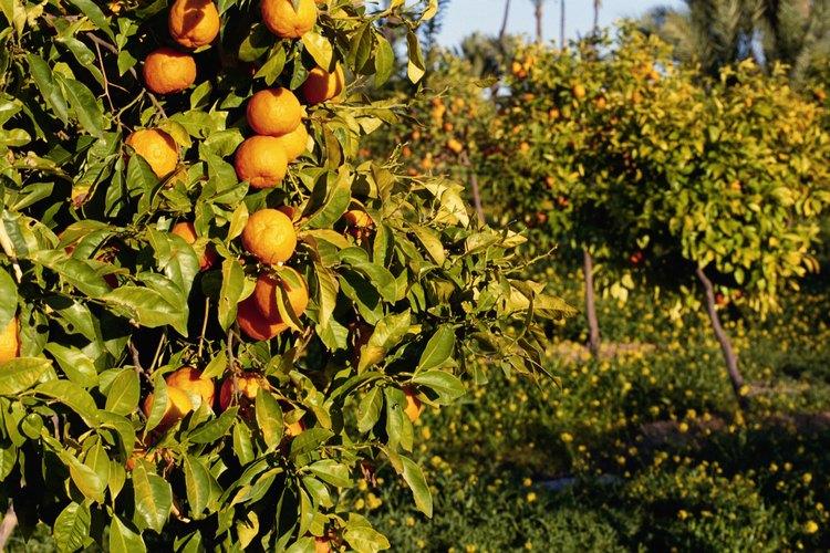 Los insectos producen moho en los naranjos.