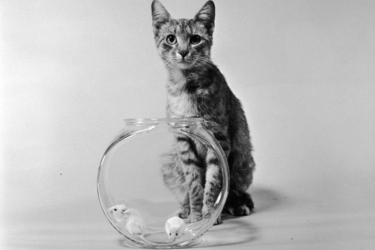 Los gatos son cazadores naturales de ratones.