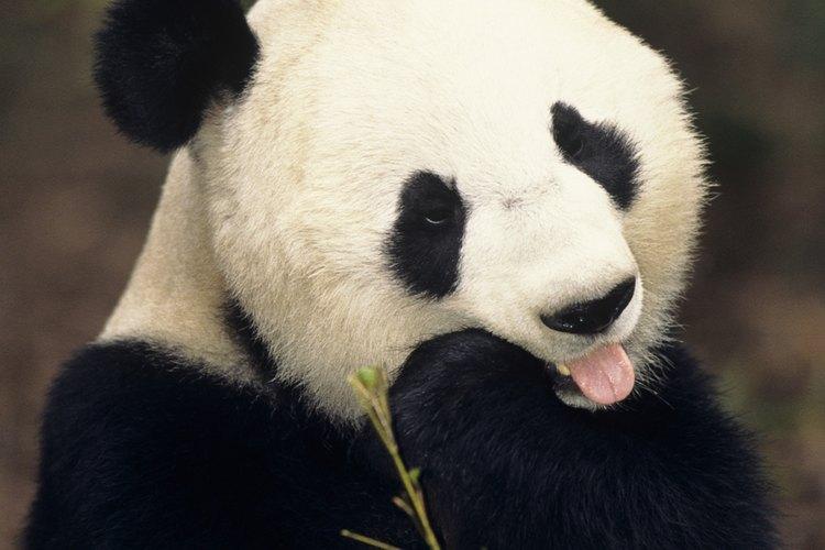 Los pandas comen constantemente