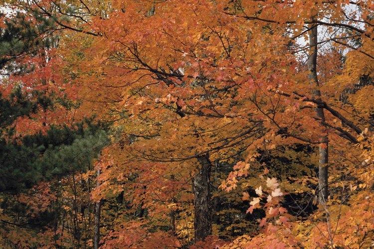 Caminar en Nueva Inglaterra durante el otoño significa disfrutar del follaje brillante.