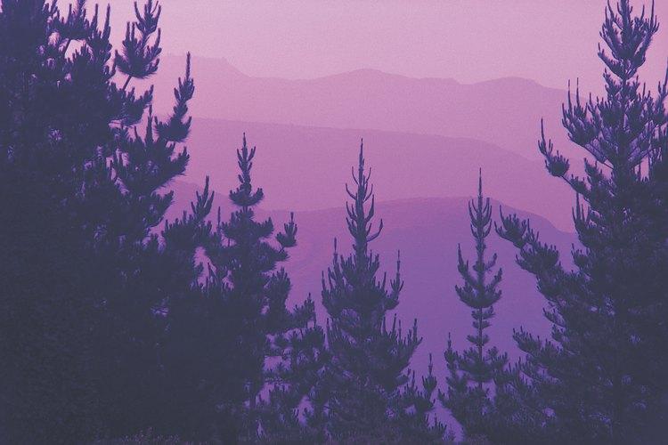 Árboles de pino.