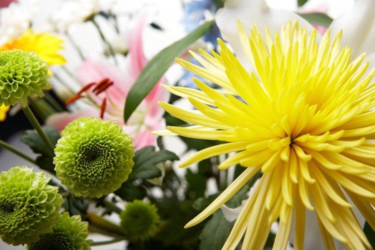 Busca las semillas que se desarrollen en la base de las plantas de crisantemos.