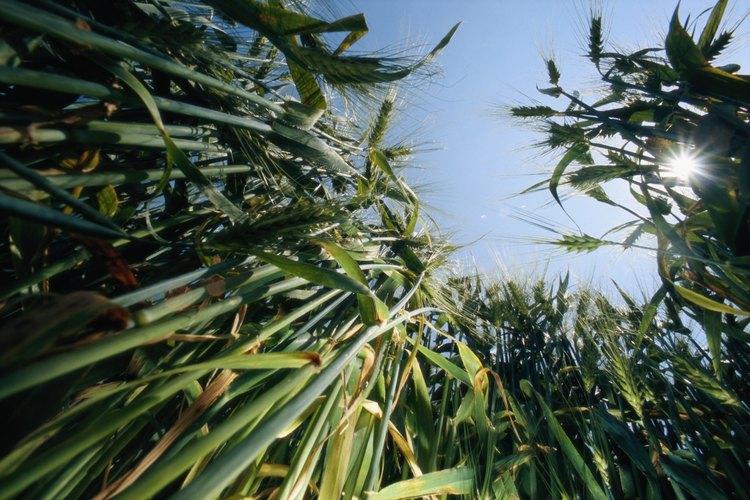 El maíz de campo produce de una a dos mazorcas por planta.